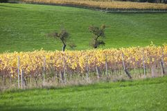 Free Fruit Trees In Meadow And Yellow Leaves On Vineyard In Dutch Province Of South Limburg Stock Images - 164562234