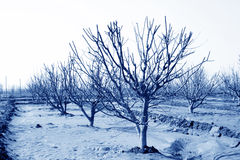 Fruit trees in an orchard Royalty Free Stock Image