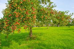 Fruit trees in an orchard in sunlight in autumn. Fruit trees in an orchard in sunlight at fall Royalty Free Stock Images