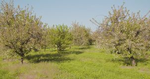 Fruit Trees In A Row On Agricultural Field. Dolly shot of fruit trees in a row on agricultural field stock video
