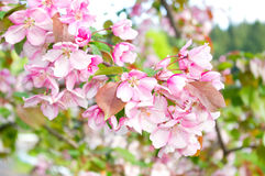 Fruit trees in the spring. Flowering fruit trees in the spring royalty free stock image