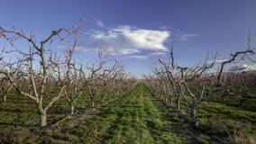 Fruit trees in spring bloom Stock Image