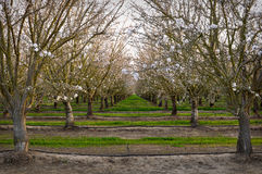 Fruit Trees in Spring Orchard Stock Photography