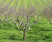 Fruit trees and vineyards Stock Photo