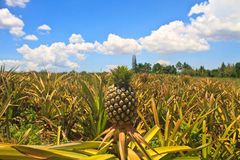 Fruit tropical d'ananas Photos stock