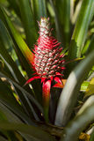 Fruit tropical d'ananas rouge Photographie stock
