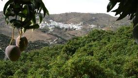 Fruit tropical de mangue accrochant à l'arbre avec un village et aux champs au fond clips vidéos