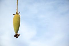 Fruit van de boom van de Baobab Stock Foto's