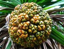 Fruit van de boom ?van de schroefpijnboom? stock afbeelding