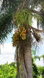 Fruit van de Construction†het ‹Gescheurde palm Stock Afbeeldingen