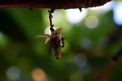 Fruit van de godencacao stock afbeelding