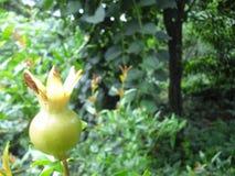 Fruit van de granaatappel stock afbeelding