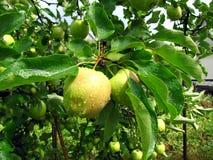 Fruit van een appelboom op een tak in een tuin met dalingen van wat Stock Fotografie