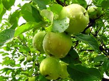 Fruit van een appelboom op een tak in een tuin met dalingen van wat Stock Foto's