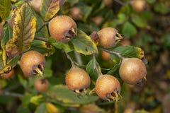 Fruit van Gemeenschappelijke mispel - Mespilus-germanica stock afbeeldingen