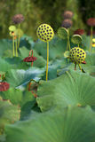 Fruit van lotusbloem royalty-vrije stock foto's