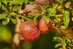 Fruit van Punica granatum royalty-vrije stock afbeelding