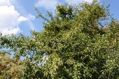 Fruit van Sleedoorn (Prunus-spinosa) Stock Afbeelding