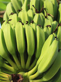 Fruit & Vegetable. Large amount of green banana Stock Images