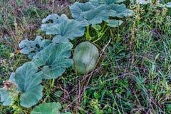 Fruit of vegetable pumpkin royalty free stock photo