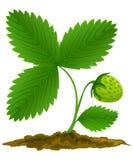 Fruit vert de fraise avec les lames vertes Image libre de droits