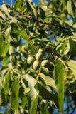 Fruit vert de noix non mûr sur la branche d'arbre Images libres de droits