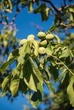 Fruit vert de noix non mûr sur la branche d'arbre Photos libres de droits