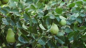 Fruit vert de poire accrochant sur l'arbre banque de vidéos