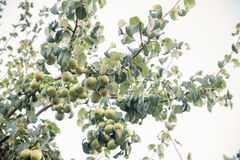 Fruit vert de poires non mûr sur la branche d'arbre Photos stock