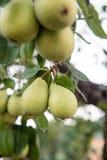 Fruit vert de poires non mûr sur la branche d'arbre Photo libre de droits
