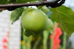 Fruit vert de pomme accrochant sur une branche d'arbre images libres de droits