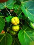 Fruit vert sur l'usine photo stock