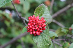 The fruit Viburnum lantana. Is an green at first, turning red, then finally black. Wayfarer or wayfaring tree is a. The fruit Viburnum lantana. Is an green at Stock Image