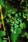 Fruit of the vine. Taken in a vineyard in New Zealand Royalty Free Stock Image