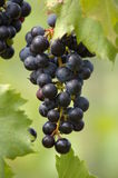 Fruit of the vine Stock Image