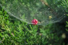 Fruit on web at ankara forests. Fruit on spider web at forests Royalty Free Stock Image