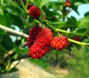 Fruit of the White Mulberry Royalty Free Stock Photography