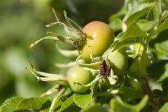 Fruit of a wild rose. Ripe fruit of a wild rose in garden royalty free stock photos