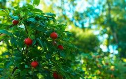 The fruit wild rose Stock Image