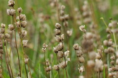 Fruit of yellow rattle in meadow Stock Photos