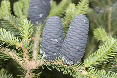 Fruitage cone of Taiwan fir. Royalty Free Stock Photo