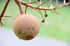 Fruitage hangs on the branch Stock Photography