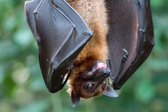 Fruitbat hanging upside down on a piece of wood. On green Background Stock Image