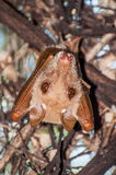 Fruitbat Resting Stock Photo