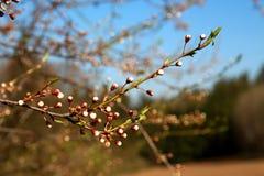 Fruitbloesems in de lente Stock Afbeelding