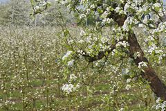 Fruitbomen; Sady fotografia royalty free