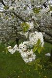 Fruitbomen; Sady zdjęcie royalty free
