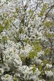Fruitbomen; Sady zdjęcia royalty free