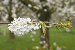 Fruitbomen; Sady obrazy stock