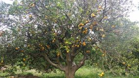 Fruitboom stock foto's
